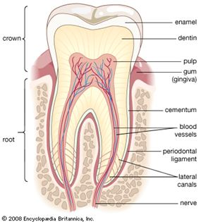 Structure of a Root Canal